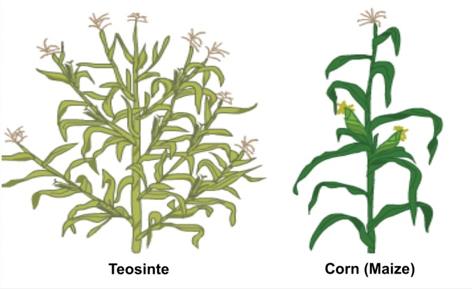Image result for Teosinte and Maize are Alike